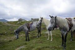 被备鞍的软羊皮的马 图库摄影