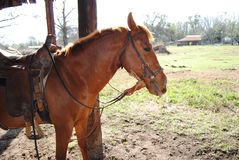 被备鞍的软羊皮的马  库存图片