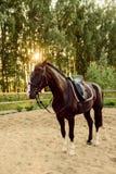被备鞍的马在沙子站立 免版税库存照片