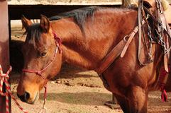 被备鞍的马季度 免版税图库摄影