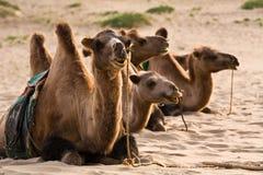 被备鞍的骆驼 免版税库存图片