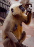 被威胁的猴子 免版税库存照片