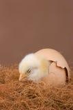 被孵化的小鸡 免版税库存图片