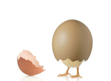 被孵化的鸡 免版税图库摄影