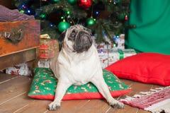 被安排白色法国牛头犬的狗说谎在坐垫和腿 库存照片