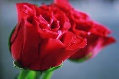 被定调子的红色玫瑰芽特写镜头 图库摄影