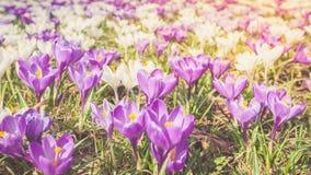 被定调子的花番红花紫罗兰色特写镜头春天阳光 图库摄影