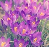 被定调子的紫罗兰色番红花是其中一朵第一朵春天花作为春天 库存照片