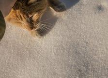被宠爱的一只红色猫的头 库存图片