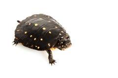 被察觉的乌龟 库存照片