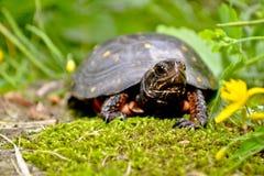 被察觉的乌龟 库存图片