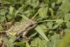 被察觉的合唱青蛙(Pseudacris clarkii) 库存照片