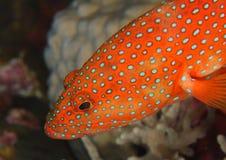 被察觉的埃及石斑鱼红海 免版税库存图片