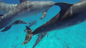 被察觉的大西洋海豚 股票视频