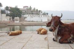 被察觉的婆罗门母牛和狗休息 库存图片