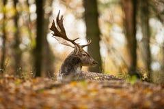 被察觉的小鹿来自地中海地区和小亚细亚 库存图片