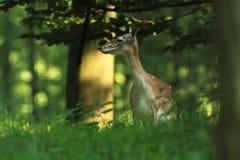 被察觉的小鹿 照片在捷克被拍了 库存图片