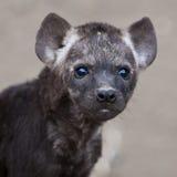 被察觉的崽鬣狗 免版税库存图片