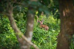 被察觉的或sika鹿在密林 免版税库存图片