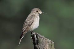 被察觉的捕蝇器, Muscicapa striata 免版税库存照片
