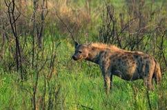 被察觉的斑鬣狗鬣狗 图库摄影