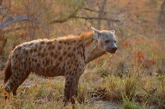 被察觉的斑鬣狗鬣狗 库存图片