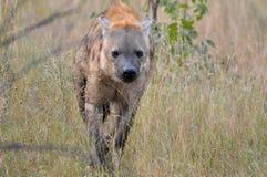 被察觉的斑鬣狗鬣狗 免版税库存图片