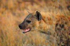 被察觉的斑鬣狗hyaena 库存照片