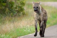 被察觉的斑鬣狗hyaena 免版税库存照片