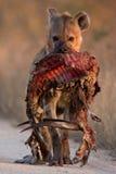 被察觉的条纹羚羊鬣狗 图库摄影