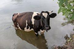 被察觉的母牛在河 图库摄影