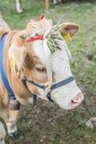 被察觉的母牛红色小牛 图库摄影