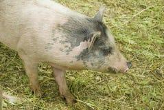被察觉的毛茸的猪 库存图片