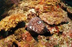 被察觉的海鳝 库存图片