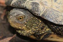 被察觉的淡水乌龟关闭  免版税库存图片