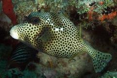 被察觉的热带硬鳞鱼 免版税库存照片