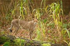被察觉的猎豹 免版税图库摄影