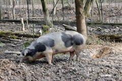 被察觉的猪 免版税图库摄影