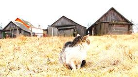 被察觉的猫在麦田乡下 影视素材