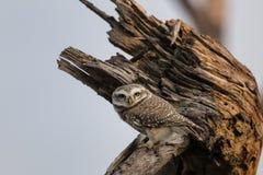 被察觉的猫头鹰之子雅典娜布罗莫坐一棵树在Keoladeo加纳 免版税库存图片