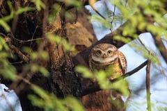 被察觉的猫头鹰之子雅典娜布罗莫坐一棵树在Keoladeo加纳 库存图片