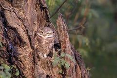 被察觉的猫头鹰之子雅典娜布罗莫坐一棵树在Keoladeo加纳 免版税库存照片