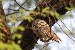 被察觉的猫头鹰之子雅典娜布罗莫坐一棵树在Keoladeo Ghan 库存照片