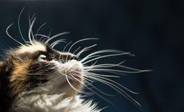 被察觉的猫特写镜头画象  库存图片