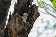 被察觉的猫头鹰之子,雅典娜布罗莫,察觉了猫头鹰之子,鸟,东南亚鸟,猫头鹰之子 图库摄影
