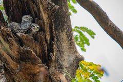 被察觉的猫头鹰之子,雅典娜布罗莫,察觉了猫头鹰之子,鸟,东南亚鸟,猫头鹰之子 免版税库存图片