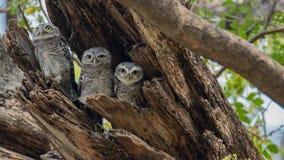 被察觉的猫头鹰之子,雅典娜布罗莫,察觉了猫头鹰之子,鸟,东南亚鸟,猫头鹰之子 库存照片
