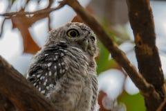 被察觉的猫头鹰之子,雅典娜布罗莫,察觉了猫头鹰之子,鸟,东南亚鸟,猫头鹰之子 免版税库存照片