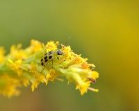 被察觉的甲虫黄瓜 库存照片
