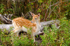 被察觉的白尾鹿小鹿在森林里 库存照片